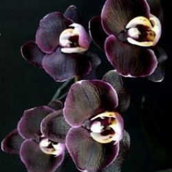 avatar Orchidea